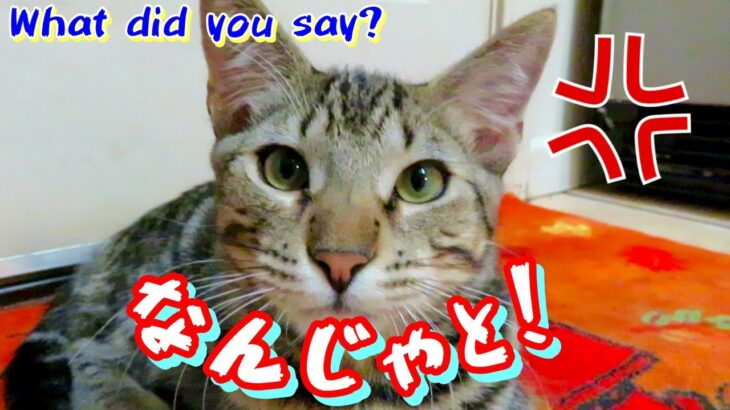 「臆病なの?」と言われてムキになる野良の子猫が可愛すぎたww