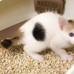 トイレはもう完璧にマスターした子猫。初トイレの映像と見比べると成長がすごい笑(2020/11/11)