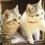 別れの時 子猫の兄妹、カフェに帰ります。マー君、イーちゃん最終日【赤ちゃん猫】【保護猫 子猫】