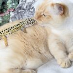 中々上手く遊べない猫とヤモリ(レオパ )の交流が可愛い