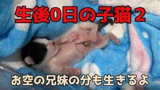 生後0日の子猫2【子育て出来なかったママ。子猫3匹はお空へ。兄妹の分も生きる】