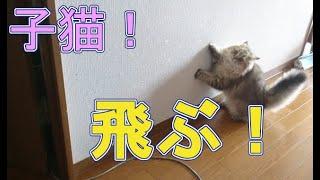 【ペルシャ猫 子猫動画#42】鬼ごっこで遊ぶ子猫が、すごい!【チンチラゴールデン】