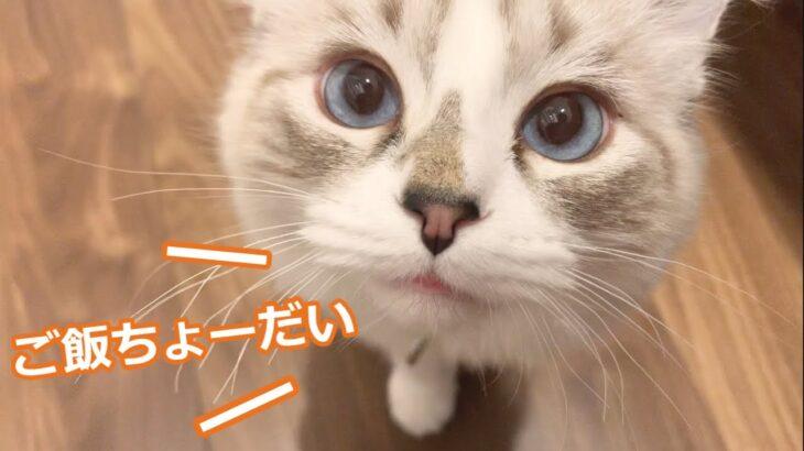 【子猫】寝起きのラグドールが可愛すぎる。