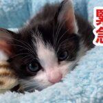 【子猫保護】 6話 びしょ濡れ低体温だった赤ちゃん猫ルナちゃんが6日目で完璧に元気になりました straycats 野良猫
