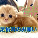 【可愛い猫 マンチカン】子猫:クルクルベビー、短足折耳からのお願いです🍀。  🐈マンチカンのかわいい猫:まんちの子猫ちゃんねる🐈