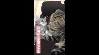 「なに…抱っこして欲しいの?」暇を持て余した子猫のかまって攻撃に、先輩ネコがとった優しい行動 ♡ #Shorts