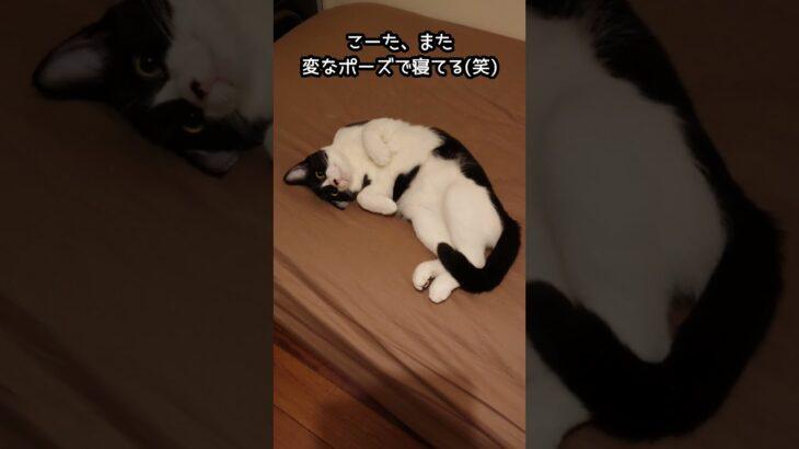 #shorts 癒し猫 ぬいぐるみみたいな寝姿が笑える。