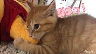 #shortsおもちゃを取られない様に必死すぎる子猫です