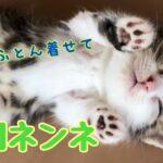 【子猫 マンチカン】子猫:愛ちゃんベビー。人間ネンネ(へそ天)していました。布団を着せても起きない猫が愛しい❤️