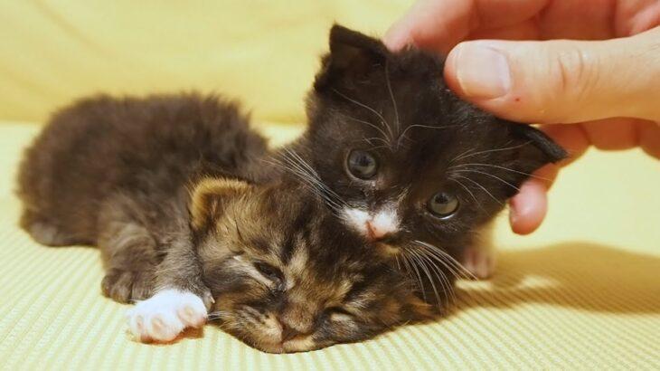 初めてのお友達に大興奮する子猫に迷惑そうなキュウちゃん 第三話【赤ちゃん猫 保護猫】