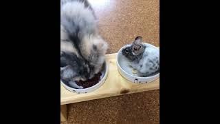 【猫とデグーの癒し動画】親子のような猫とデグー